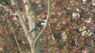 Magpie Singing video