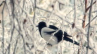 Magpie sits on a snowy tree video