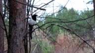 magpie sitting on pine branch video