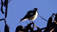 Magpie-lark cleaning its plumage video