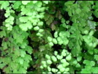 Maidenhair Fern 2 video