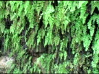 Maidenhair Fern 3 video