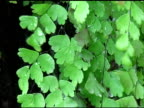 Maidenhair Fern video