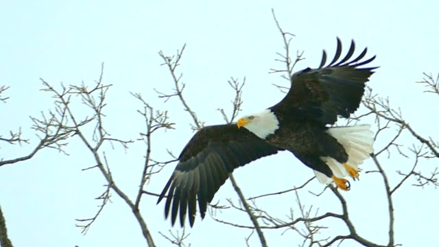 Majestic Bald Eagle flying in slow motion, closeup video