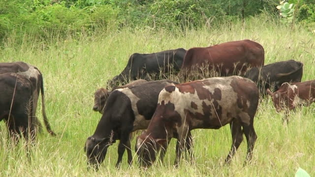 Malawi: cows in a pasture video