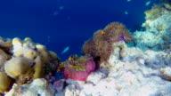 Maldives Anemonefish in a sea anemone on maldives video