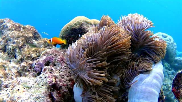 Maldives clown fish in a anemone video