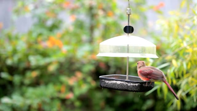 Male Adult and Juvenile Cardinals video