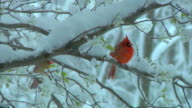 Male and Female Cardinal in Snowy Tree video