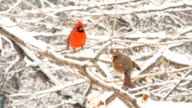Male and female cardinal perched in snow covered tree video