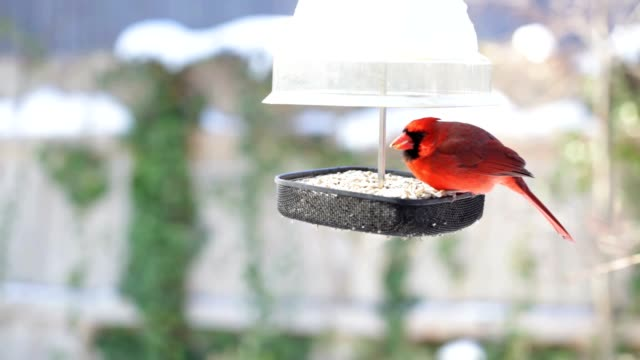 Male and Female Cardinals in Winter video
