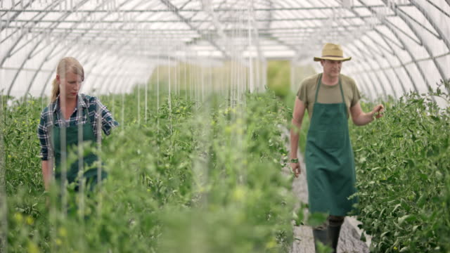DS Male and female farmer checking tomatoes in the greenhouse video