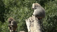 Male and female Hamadryas baboon video