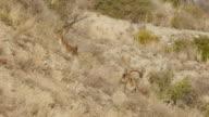 Male and female Iberian ibex video