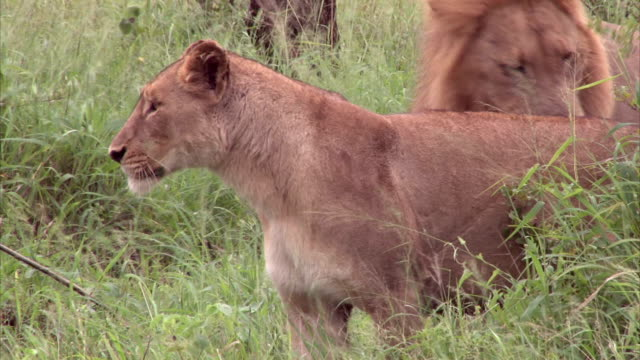 Male and female Lion in the bush video