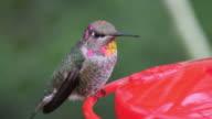 Male Anna's Hummingbird at Feeder video