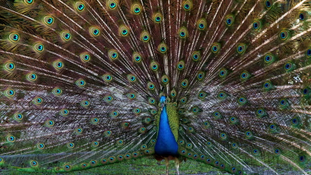 Male Blue Peafowl displaying video