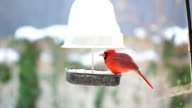 Male Cardinal in Winter at Bird Feeder video