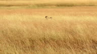 Male cheetah in Masai Mara video