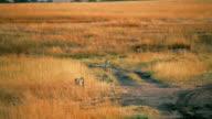 Male cheetahs in Masai Mara video