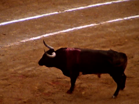 Male cow in Bull fight video