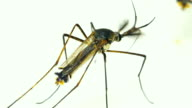 Male Elephant Mosquito (Toxorhynchites splendens) video