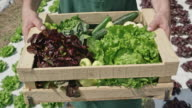 Male farmer carrying wooden crate with produce along lettuce field video