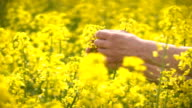Male Farmer in Oilseed Rapeseed Cultivated Agricultural Field Examining Canola video