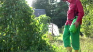 male farmer spray green bean plant in country garden sunset. FullHD video