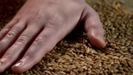 Male farmer's hand enjoying touch of collected crop wheat, agriculture, business video