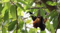 Male Fruit Bats Hanging video