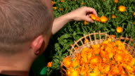 male gardener guy harvest herbal marigold flower blooms to wicker dish video