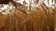 Male hand moving over wheat growing on the field. Field of ripe grain and man's hand touching wheat in summer field. Man walking through wheat field, touching wheat spikes at sunset. Slow mo video