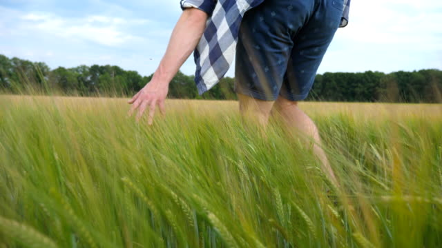 Male hand moving over wheat growing on the field. Meadow of green grain and man's arm touching seed in summer. Guy walking through cereal field. Slow motion Close up video