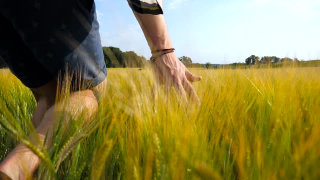 Male hand moving over wheat growing on the field. Meadow of green grain and man's arm touching seed in summer. Guy walking through cereal field. Close up video