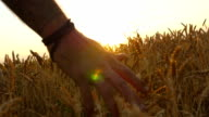Male hand moving over wheat growing on the field. Young man running through wheat field, rear view. Field of ripe grain and man's hand touching wheat in summer field at sunset video