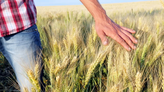 Male Hand Touching Wheat Spikelets video