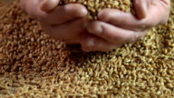 Male hands holding wheat grain, agriculture business, eco food, product quality video