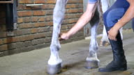 Male hands makes massage to legs of horse. Care for animals. Treatment for horse leg in a stall. Horseriding club. Closeup, close-up video