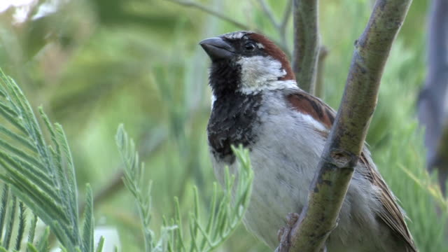 Male House Sparrow (Passer domesticus) video