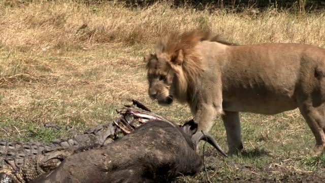 Male lion and crocodile feeding on buffalo carcass. video