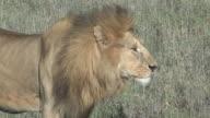 Male Lion Closeup - Profile video