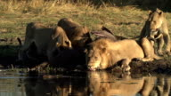Male lion drinking at waters edge at a river in the Okavango Delta video