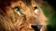 Male Lion Face Looking Around video