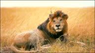 Male lion in Masai Mara video