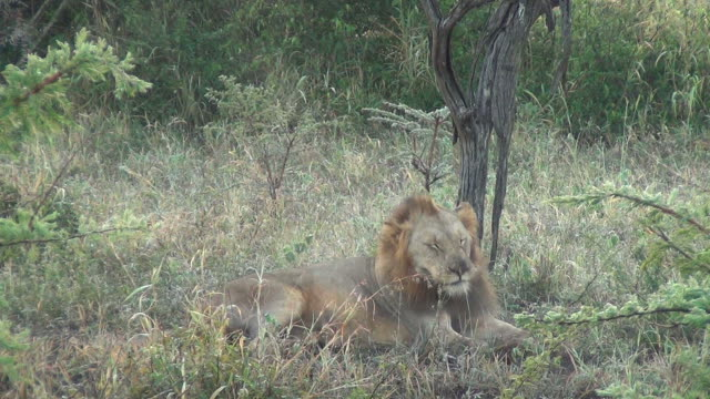 Male lion resting with playful cub video