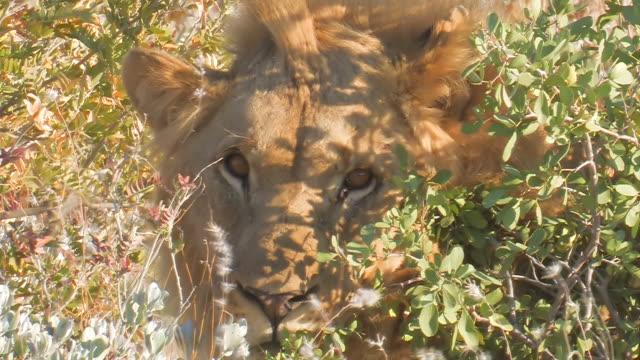 male lion video