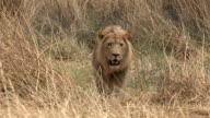 Male lion walking towards camera video