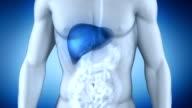 Male liver anatomy video