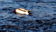 Male Mallard Duck Feeding In American River Sacramento California video